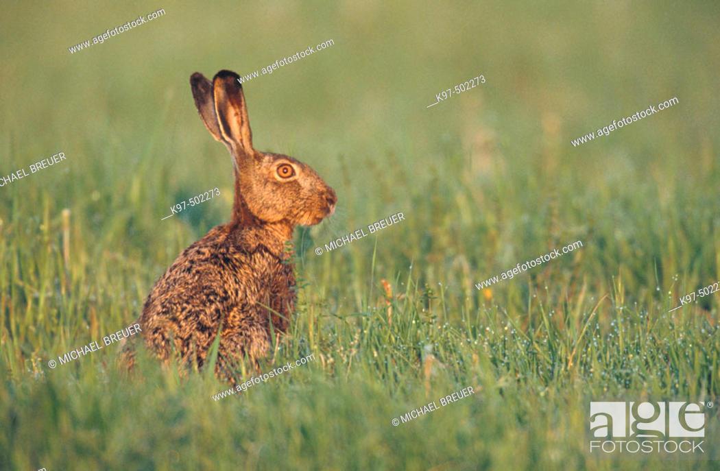 Stock Photo: Brown Hare (Lepus europaeus). Germany.