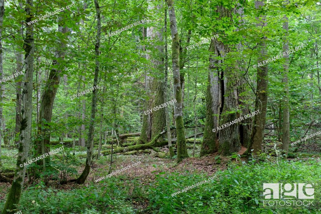 Stock Photo: Two old oak trees side by side in summertime decuduous forest, Bialowieza Forest, Poland, Europe.