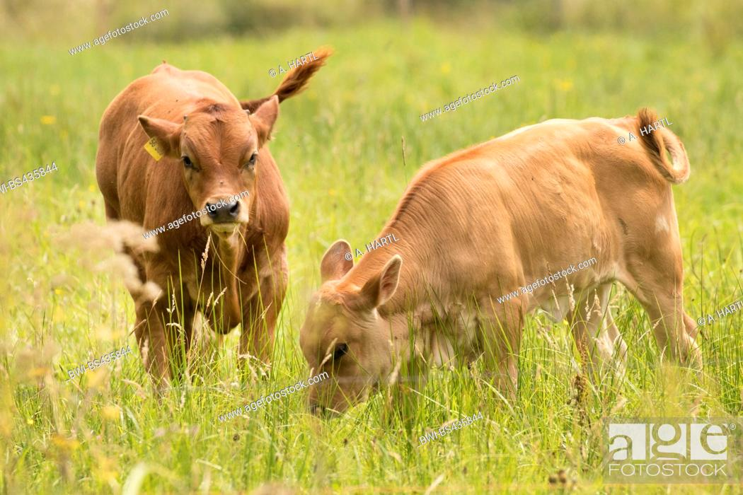 Stock Photo: domestic cattle (Bos primigenius f. taurus), calves on a pasture, Germany, Bavaria.