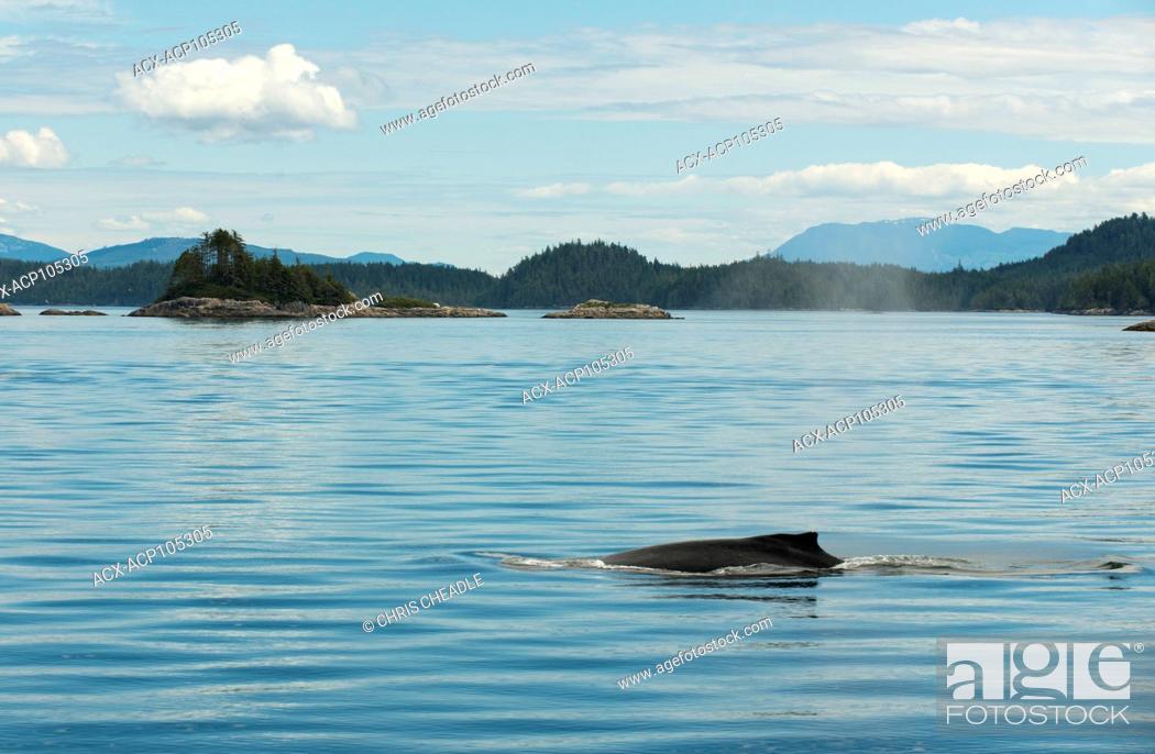 Stock Photo: Humpback Whale, Megaptera novaeangliae, Broughton Archipelago, Vancouver Island, British Columbia, Canada.