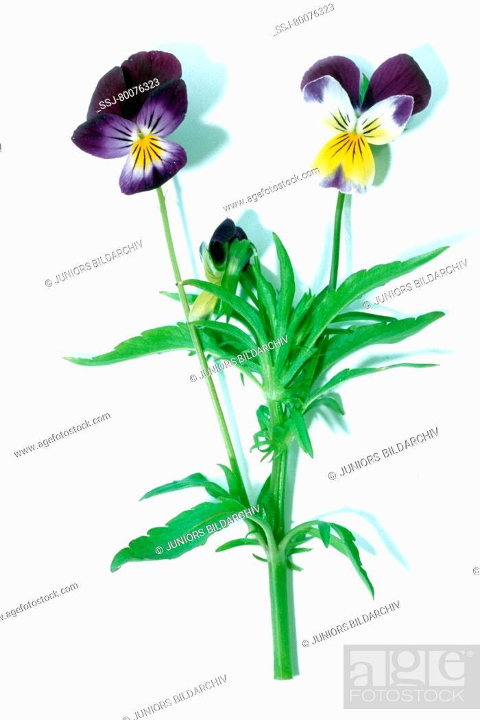Stock Photo: DEU, 2004: Wild Pansy, Heartsease (Viola tricolor), flowering stem, studio picture.