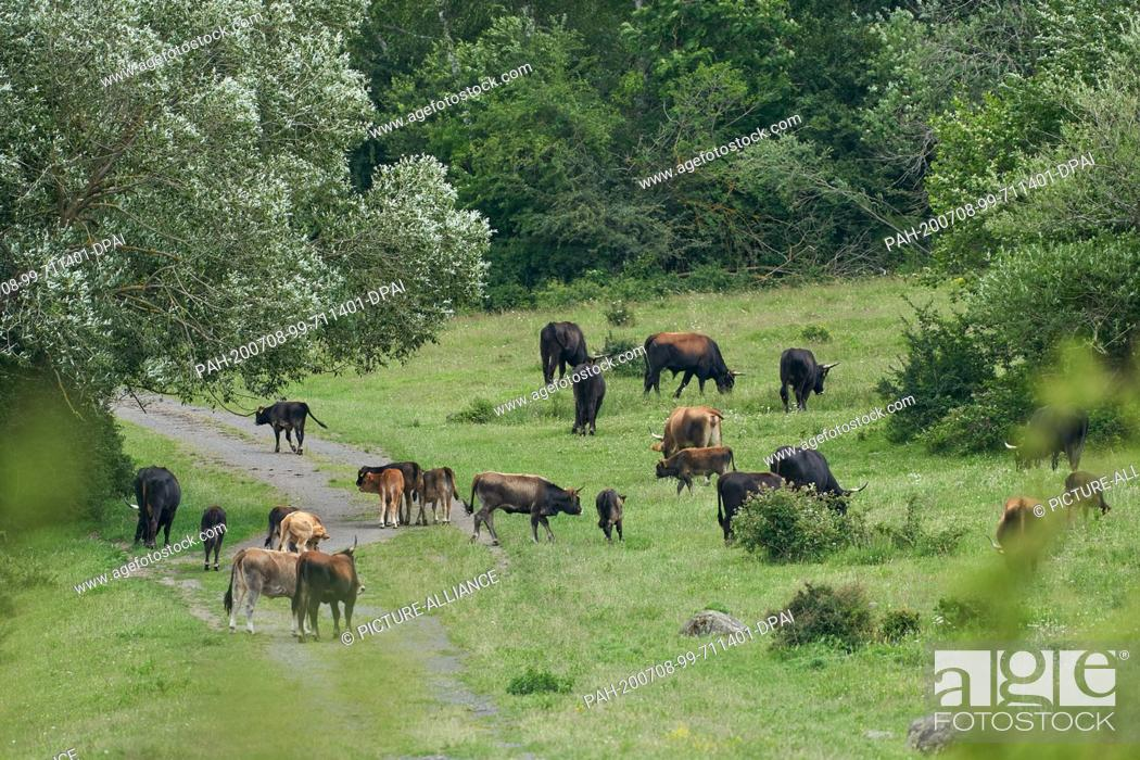 Stock Photo: 05 July 2020, Rhineland-Palatinate, Koblenz: Heck cattle graze the nature reserve on the former military training area Schmidtenhöhe.