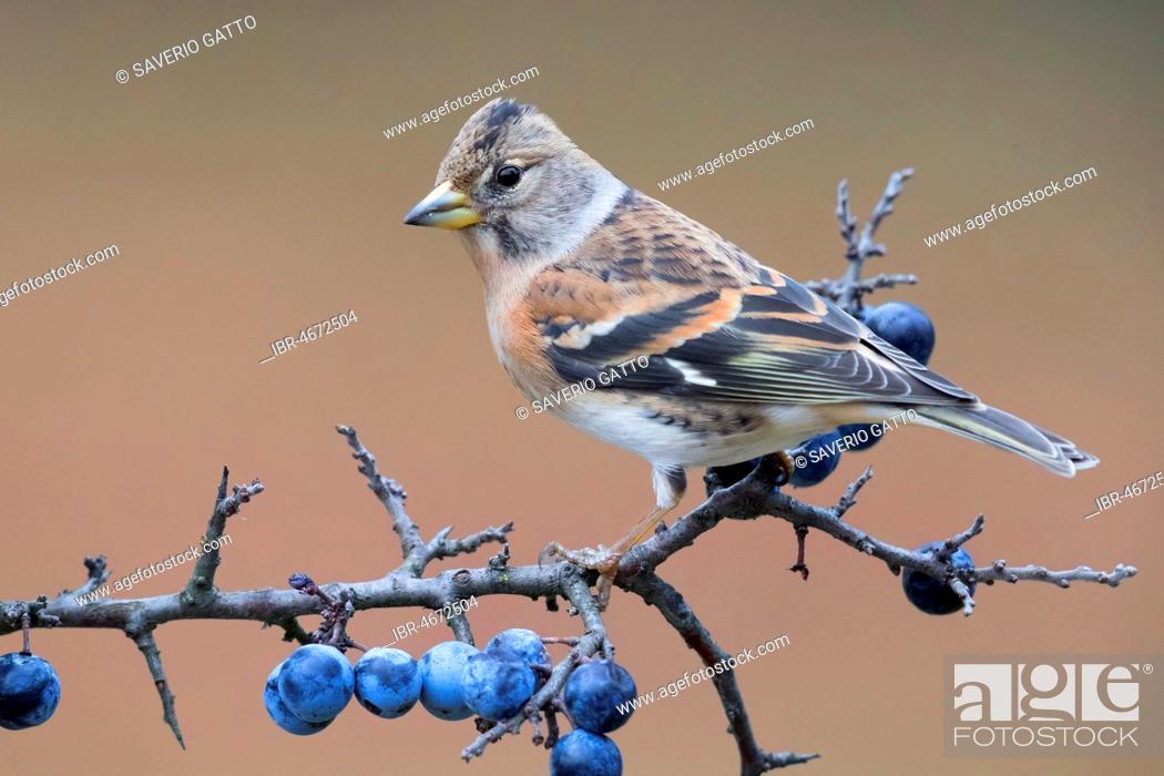 Stock Photo: Brambling (Fringilla montifringilla), adult sits on branch of a Blackthorn (Prunus spinosa), Campania, Italy.