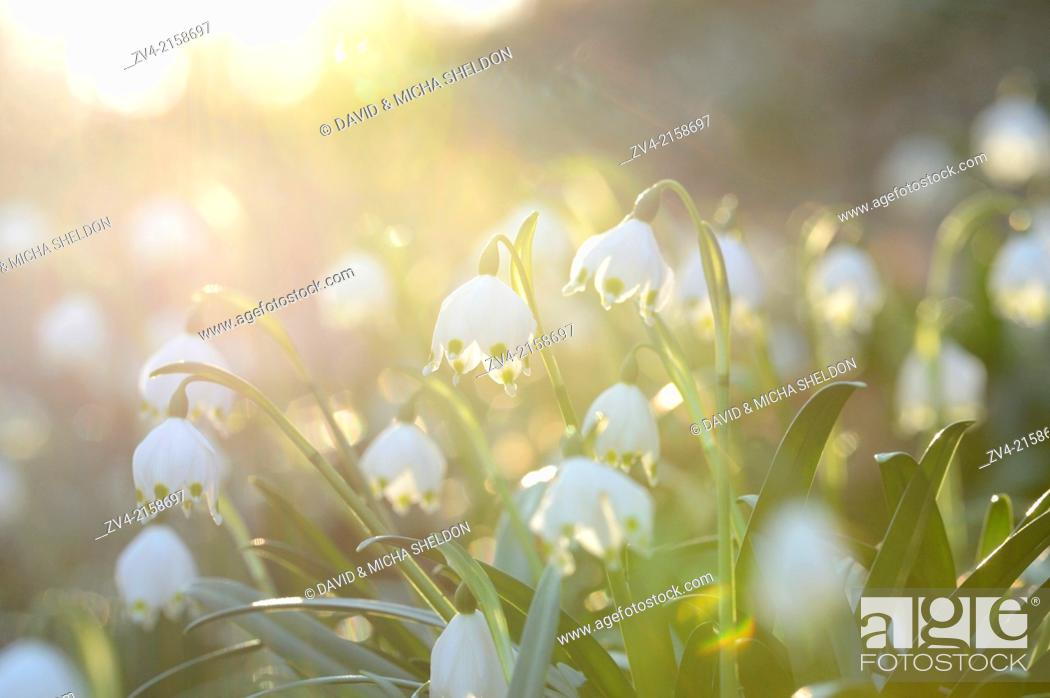Photo de stock: Landscape of Spring Snowflake (Leucojum vernum) blossoms in a forest on a sunny evening in spring.
