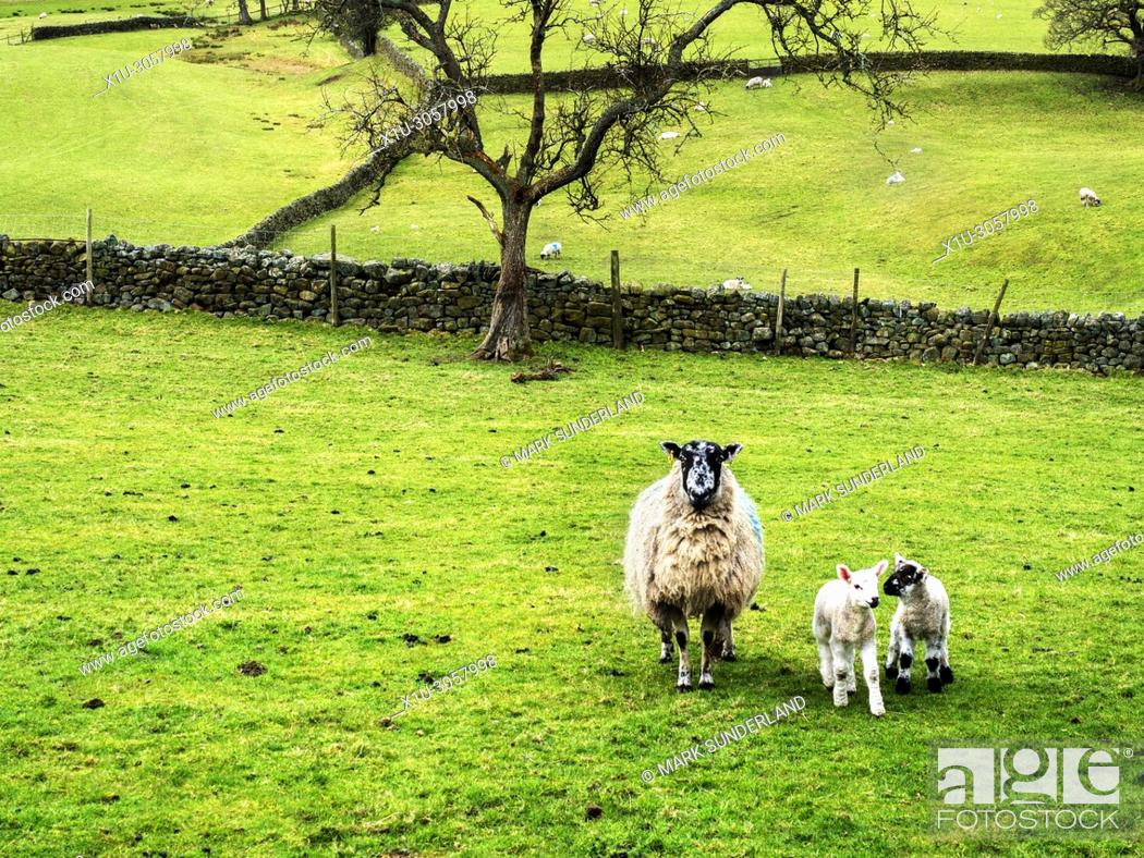 Stock Photo: Ewe with lambs in Nidderdale from Wath Road near Pateley Bridge North Yorkshire England.