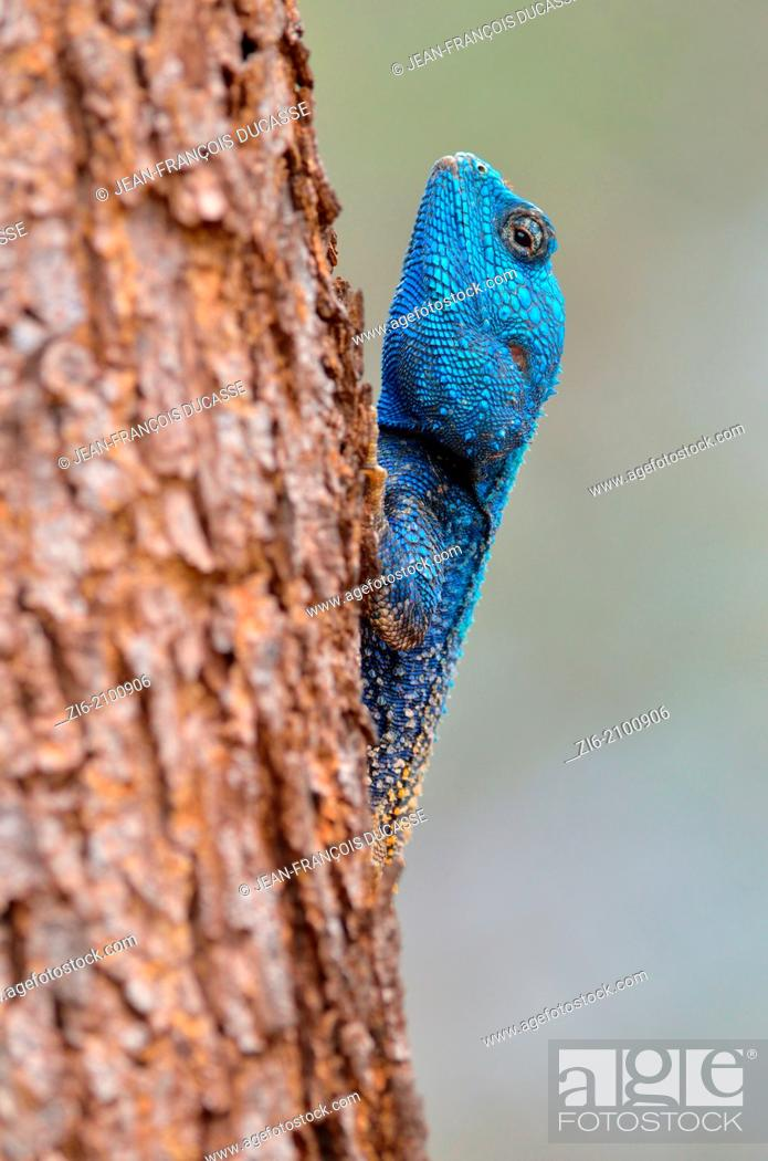 Stock Photo: Southern Tree Agama, Blue-throated Agama, Acanthocercus atricollis, on a tree trunk, Kruger National Park, South Africa.