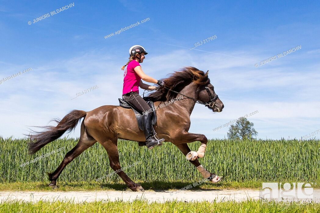 Stock Photo: Icelandic Horse being ridden at a gallop. Austria.
