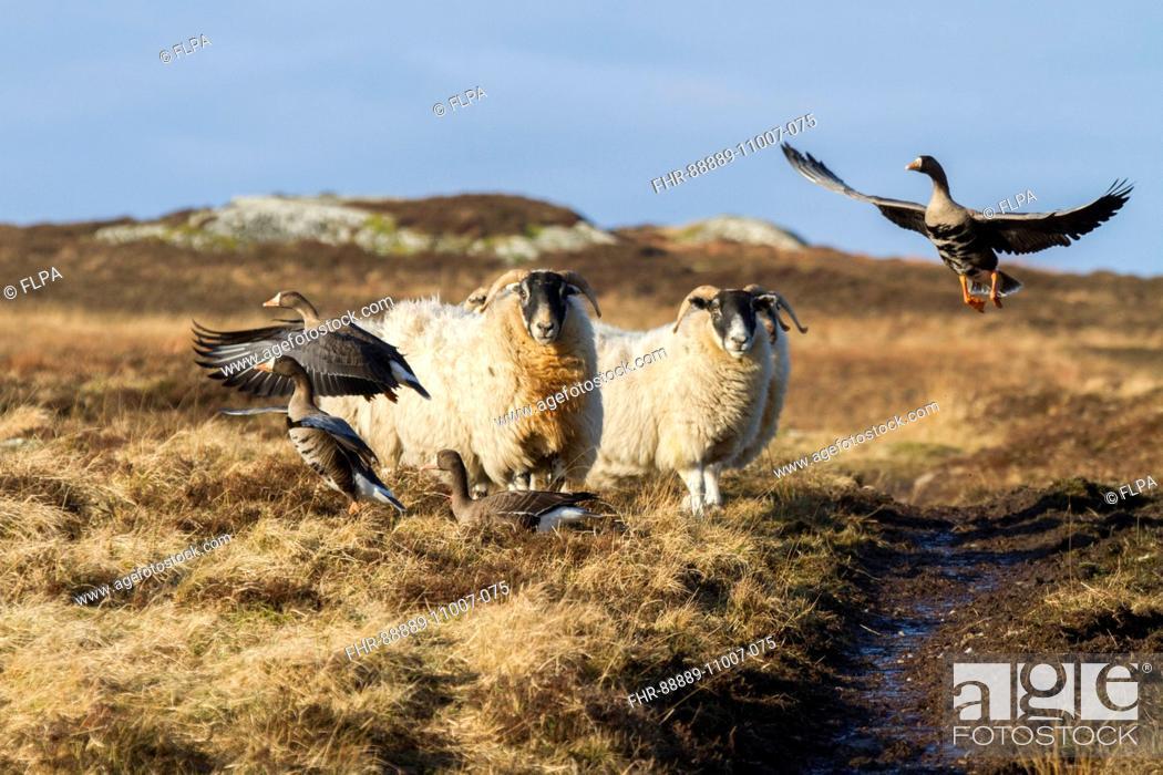 Stock Photo: Scottish black face sheep disturb Greenland white front Geese - Islay, Scotland.
