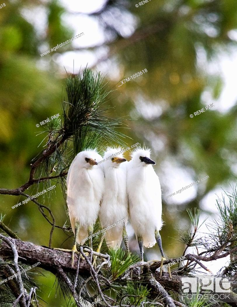 Stock Photo: Snowy Egret Egretta thula chicks huddling together for warmth near San Francisco, California  This colony of egrets chose to mate.