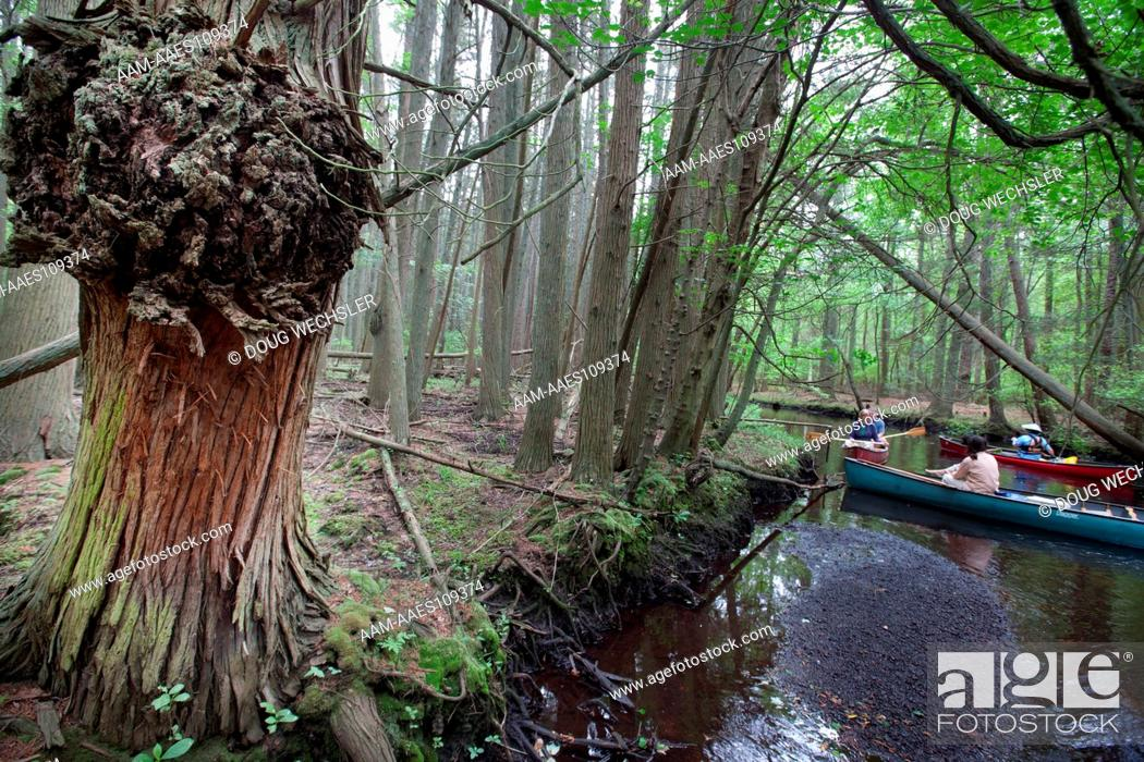 Stock Photo: Atlantic White Cedar swamp; Chamaecyparis thyoides; NJ, Pine Barrens, Wharton State Forest, Oswego River.