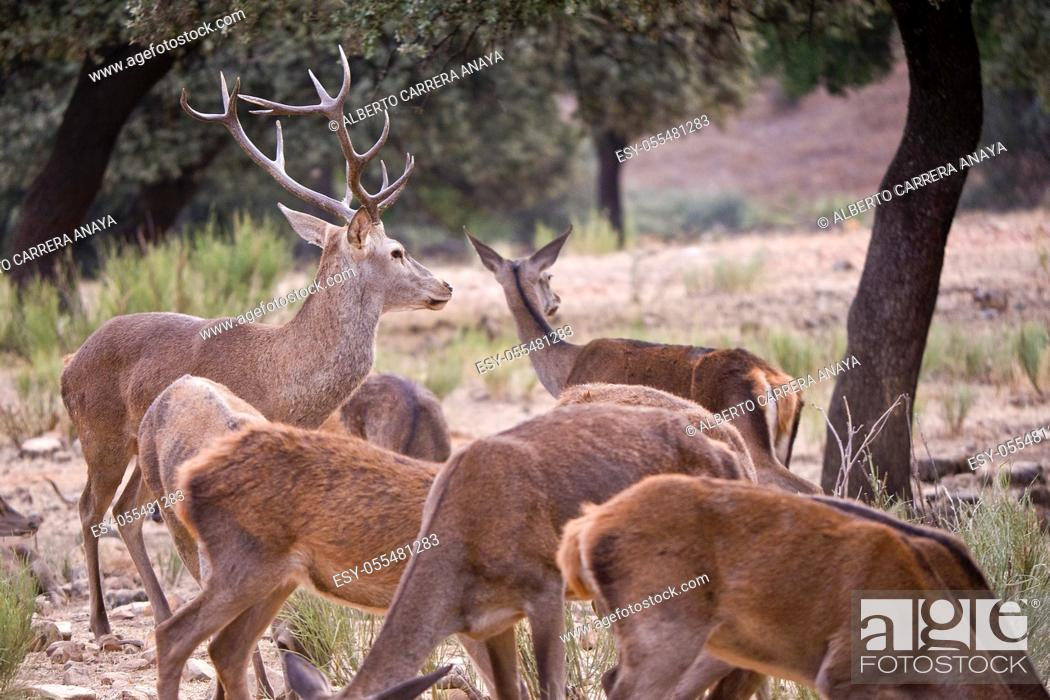 Imagen: Red Deer, Cervus elaphus, Rutting Season, Monfragüe National Park, SPA, ZEPA, Biosphere Reserve, Cáceres Province, Extremadura, Spain, Europe.