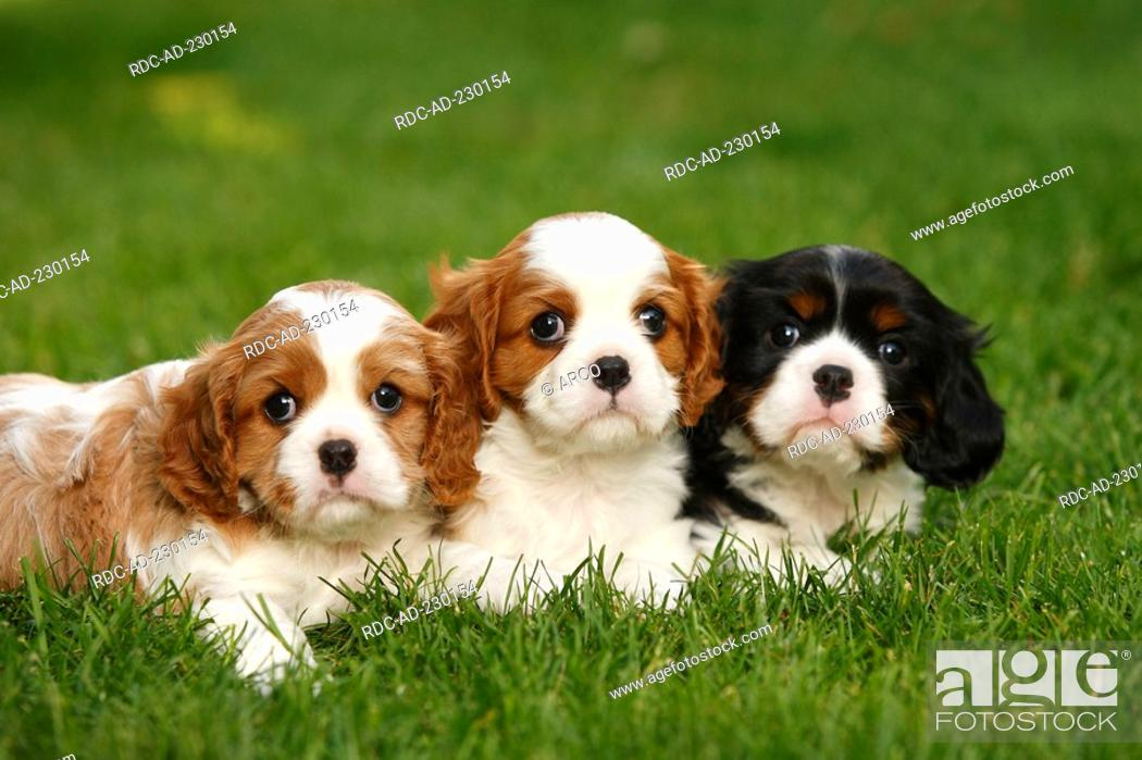 Cavalier King Charles Spaniel Puppies Blenheim And Tricolour 5 Weeks Stock Photo Picture And Rights Managed Image Pic Rdc Ad 230154 Agefotostock