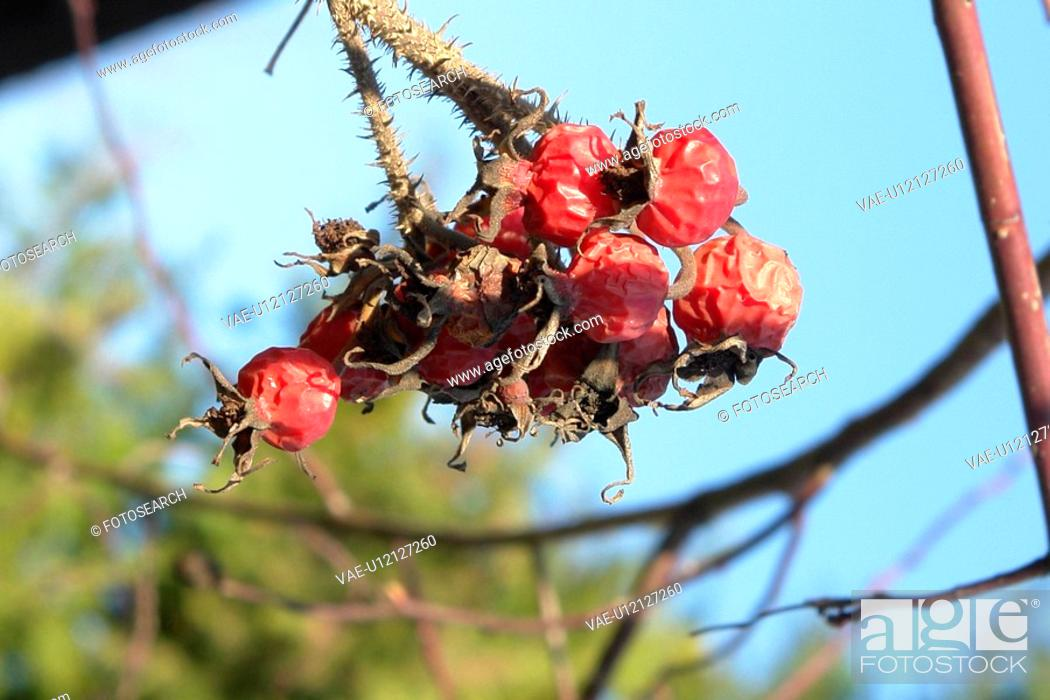 Stock Photo: branches, berne, branch, blurred, berries, brown, arid.