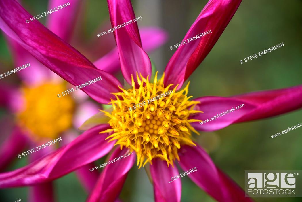 Stock Photo: Pink Dahlia.
