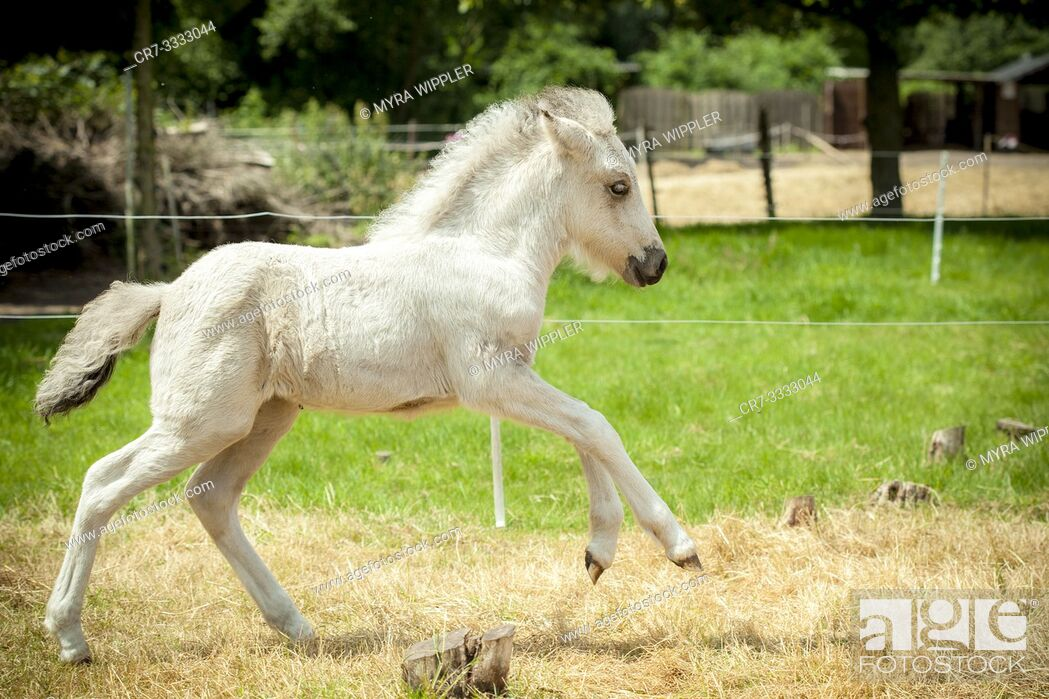 Stock Photo: White foal running through meadow in gallop.