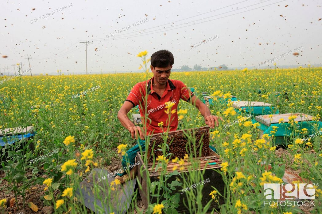 Imagen: honey cultivation in a mustard field at manikgonj district of Bangladesh.