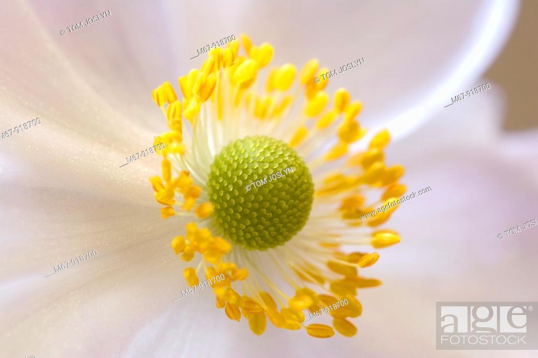 Anemone Hupehensis Japanese Anemone Flower Close Up England Uk