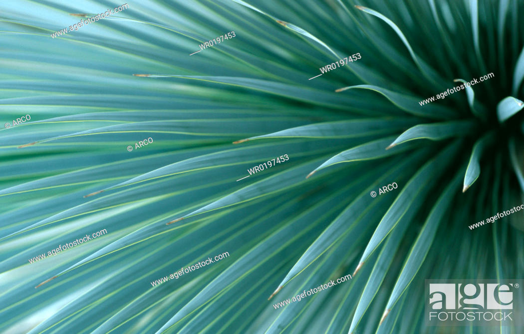 Stock Photo: Agave, leaves,Agave, stricta.