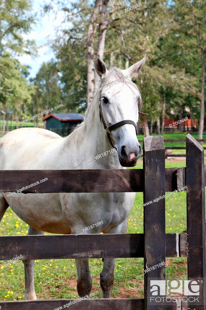 Stock Photo: Thoroughbred white horse.