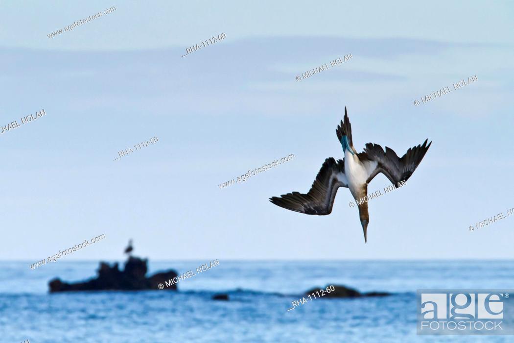 Stock Photo: Blue-footed booby Sula nebouxii, Cormorant Point, Floreana Island, Galapagos Islands, UNESCO World Heritage Site, Ecuador, South America.