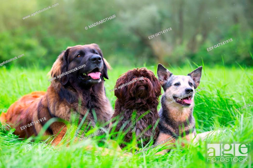 Stock Photo: portrait picture of a Leonberger, Havanese and Australian cattledog who lie on the grass.