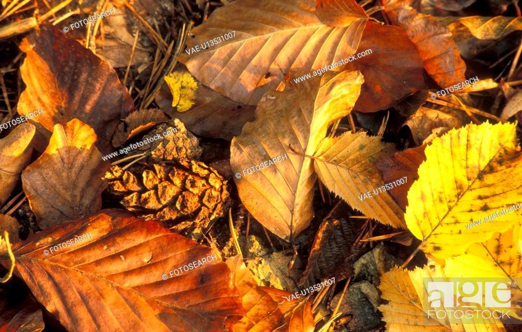 Stock Photo: colored, autumn, calf, burgenland, autumn foliage, duff, austria.
