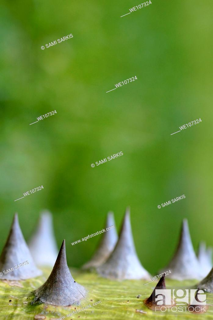 Stock Photo: Sharp thorns on a tree trunk.