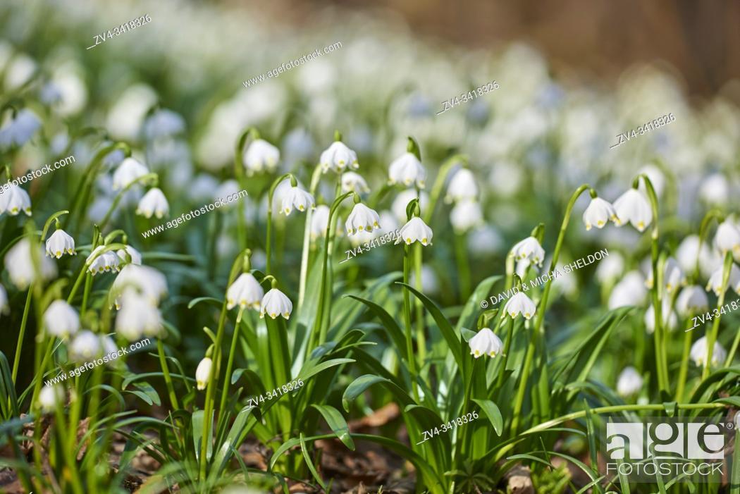 Stock Photo: Spring snowflake (Leucojum vernum) flowering in a forest in spring, Upper Palatinate, Bavaria, Germany, Europe.