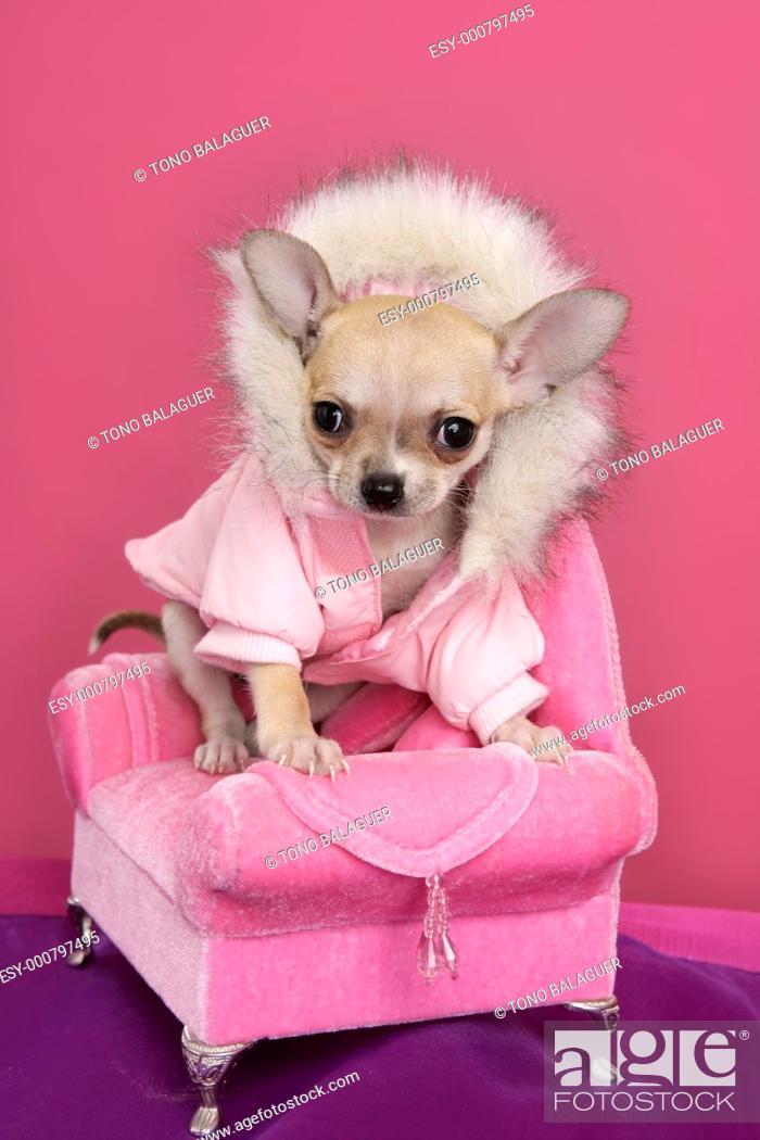 Stock Photo: fashion chihuahua dog barbie style sofa armchair pink background.