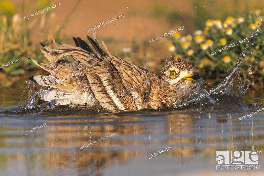 Stock Photo: Common Rosewood (Burhinus oedicnemus). Bathing in a pond at dawn photographed in Villacañas Castilla la Mancha Spain.
