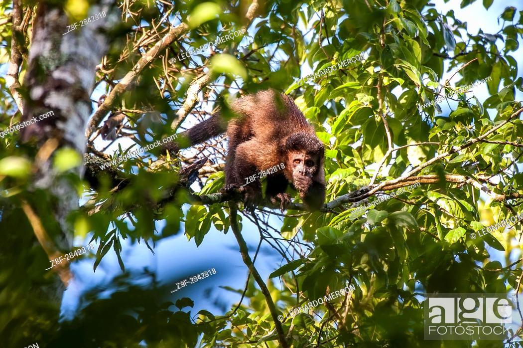 Stock Photo: Black capuchin (Sapajus nigritus) typical of the Atlantic Forest of southeastern Brazil. Photographed in Cariacica, Espírito Santo - Brazil.