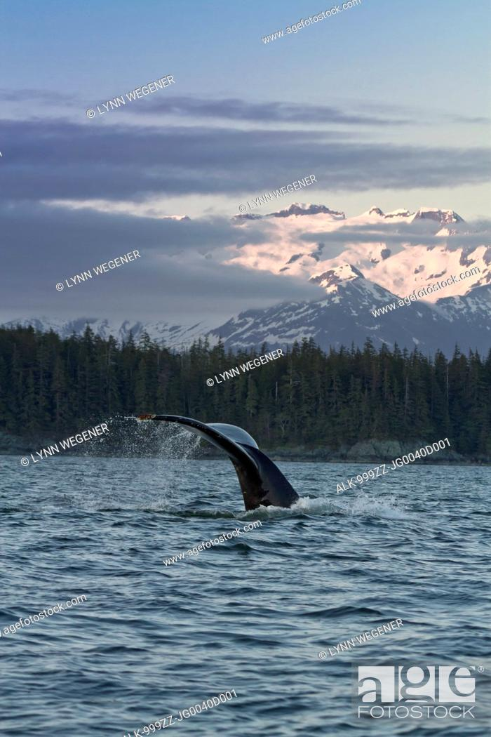 Imagen: Close up of a Humpback Whale tale dripping water as the whale dives in Lynn Canal at sunset, Southeast Alaska, Summer.