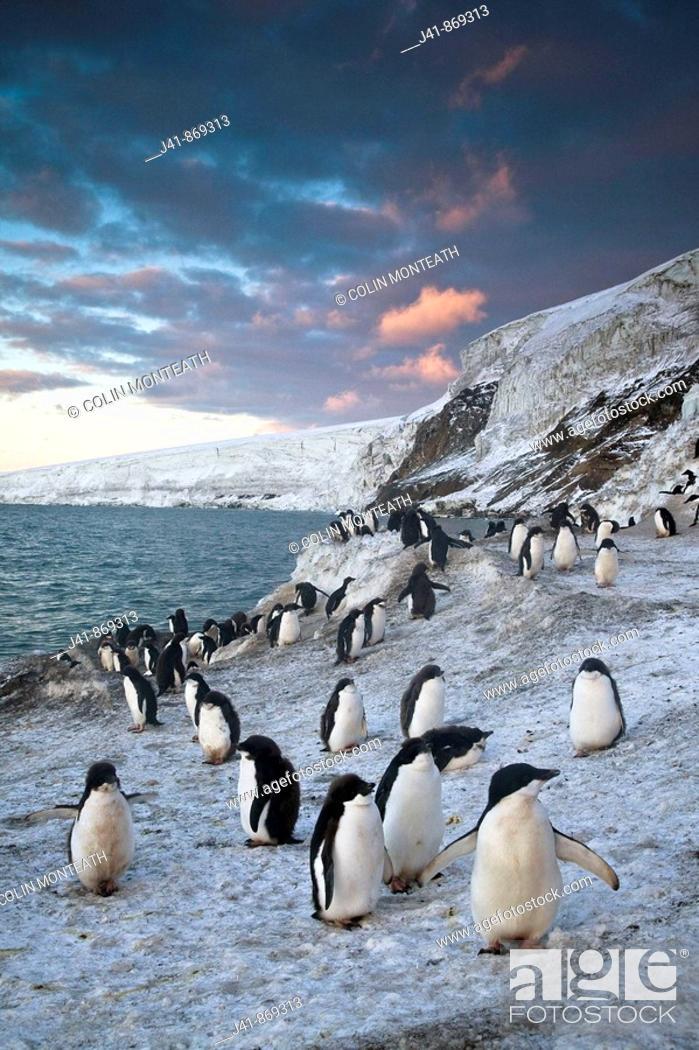 Stock Photo: Adelie penguins walk along beach at sunset, Antarctica.