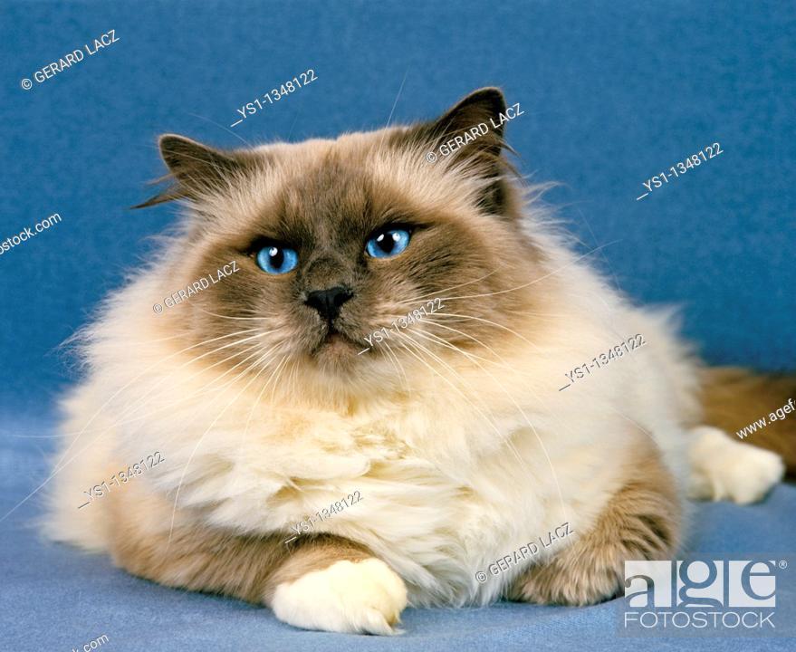 Stock Photo: BIRMANESE DOMESTIC CAT, ADULT RESTING.