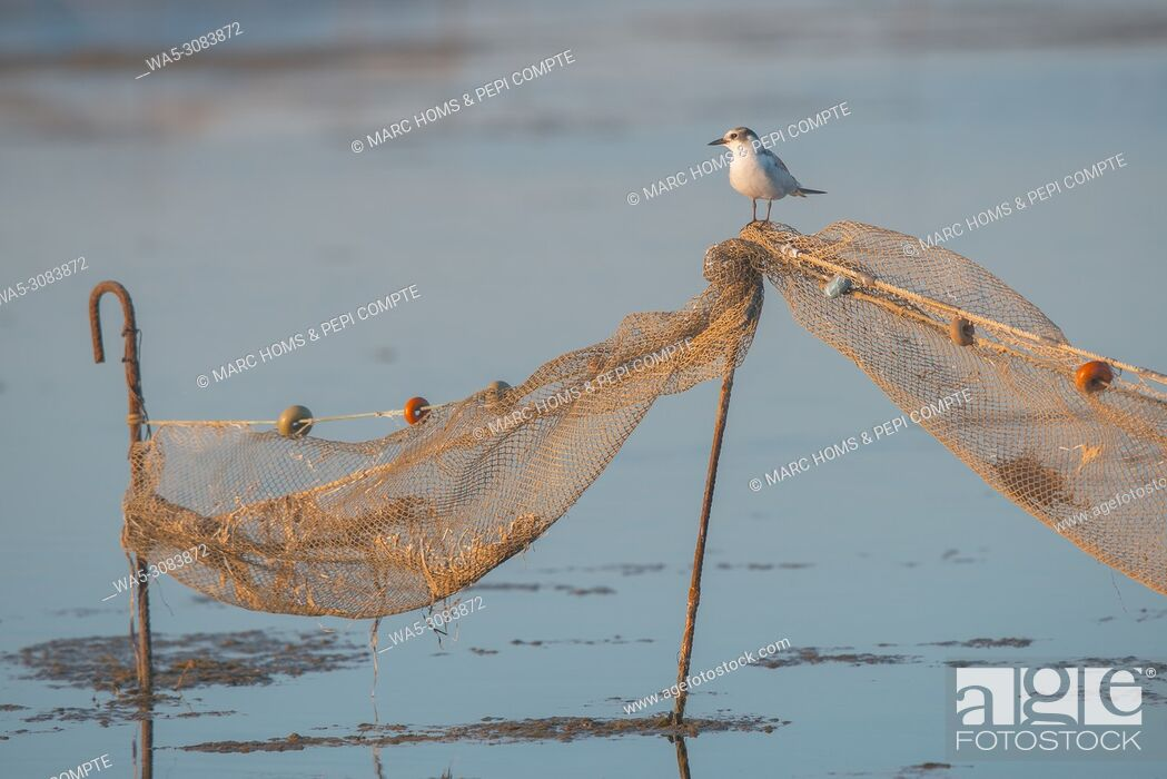 Stock Photo: Black headed gull posed on a fishing network in Deltebre, Catalonia, Spain.