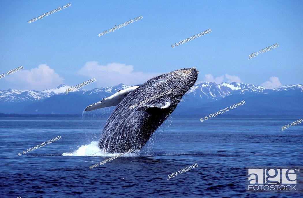 Stock Photo: HUMPBACK WHALE - Breaching (Megaptera novaengliae). Alaska, USA.