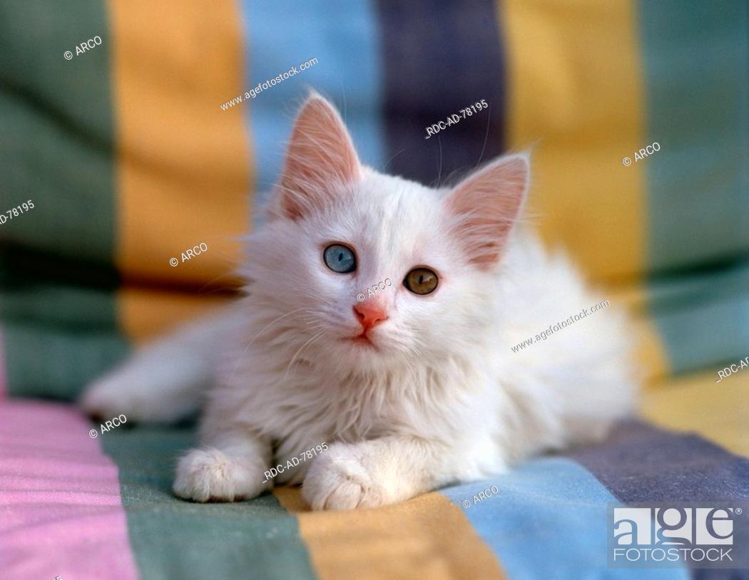 ef6b548ba1 Stock Photo - Turkish Angora Cat odd-eyed