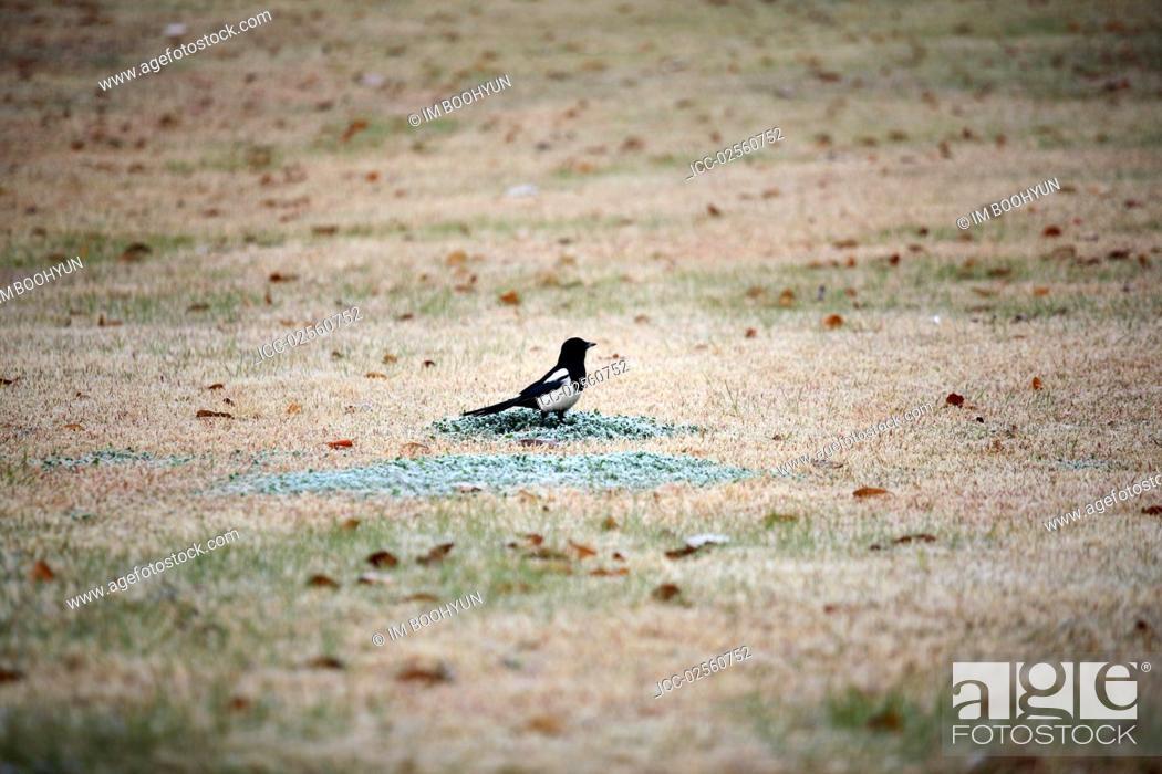 Stock Photo: No People, Outdoors, Animal, Bird, Day, Side, Korea, Woodchat Shrike, One Animal