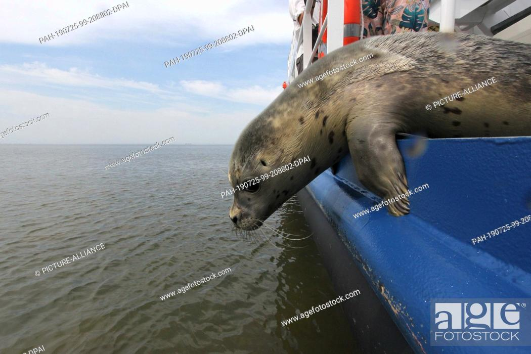 Stock Photo: 25 July 2019, Schleswig-Holstein, Friedrichskoog: A seal bends over the railing of a ship on the North Sea. The seal station Friedrichskoog poached the first.