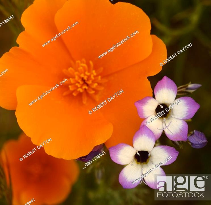 Photo de stock: A close up of Southern California wildflowers.
