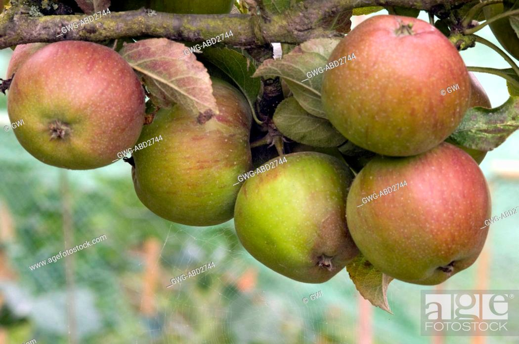 Malus Domestica Lord Burghley Stock Photo Picture And Rights