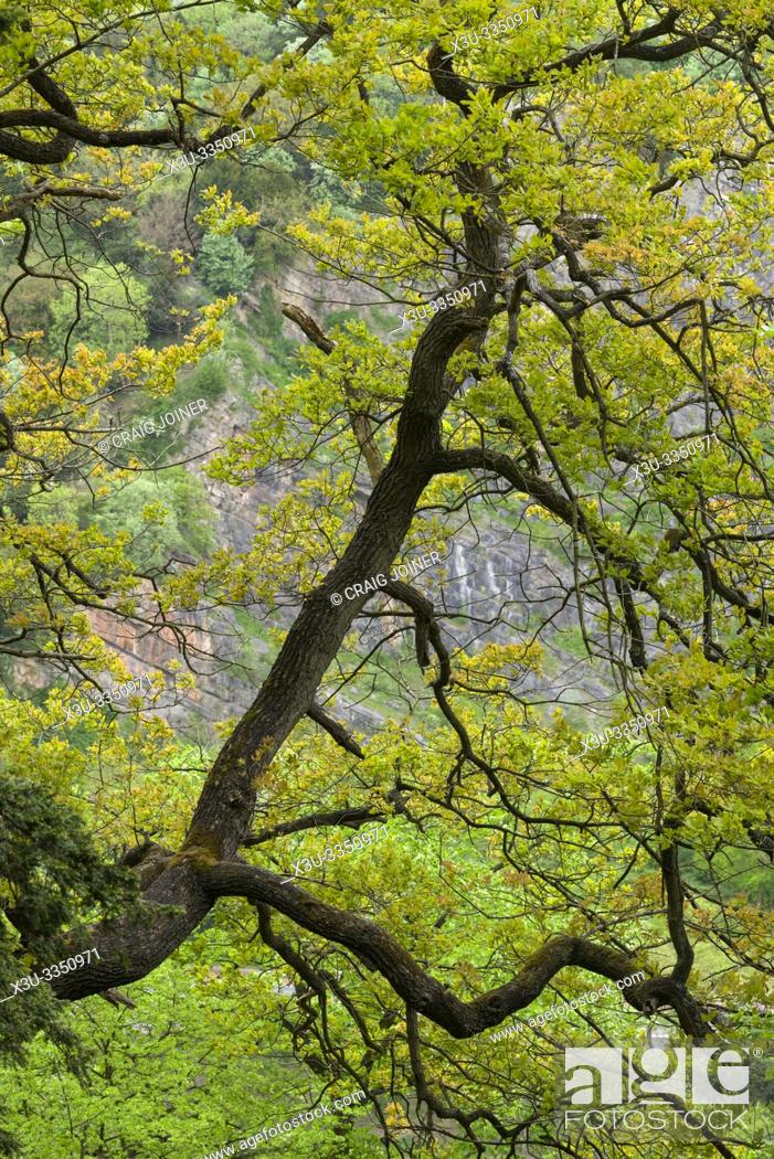 Stock Photo: An oak tree overhanging Avon Gorge at Leigh Woods near Bristol, North Somerset, England.