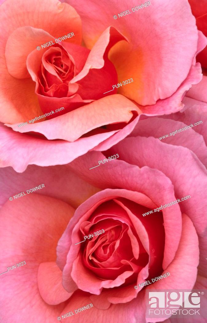 Stock Photo: Abstract close up image of roses Rosa variety.