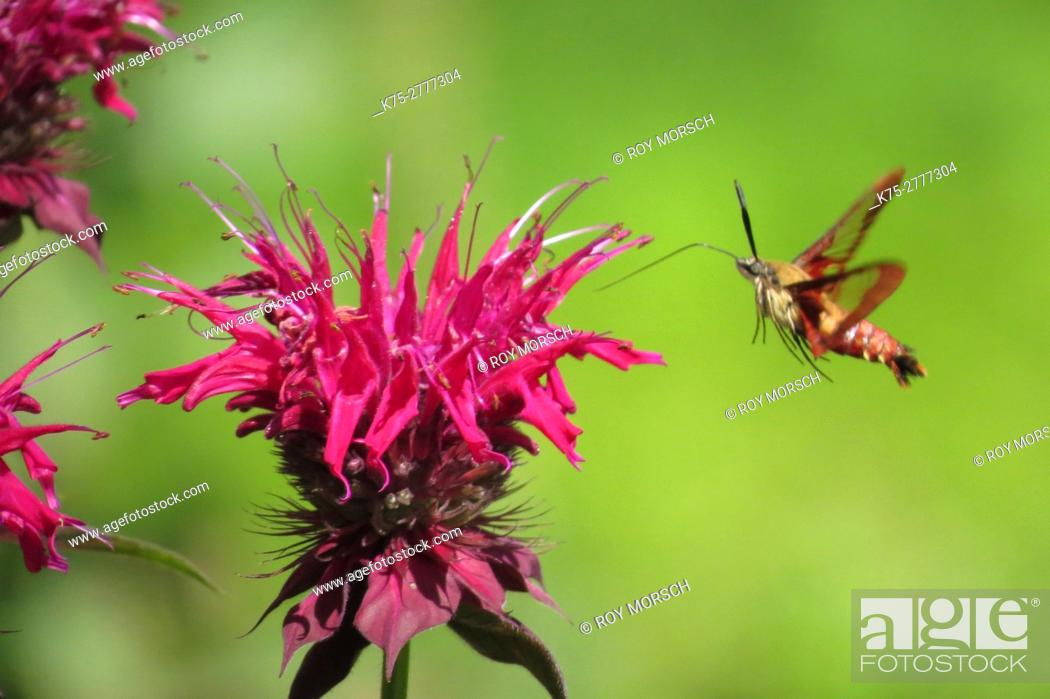 Stock Photo: Clearwing hummingbird moth.