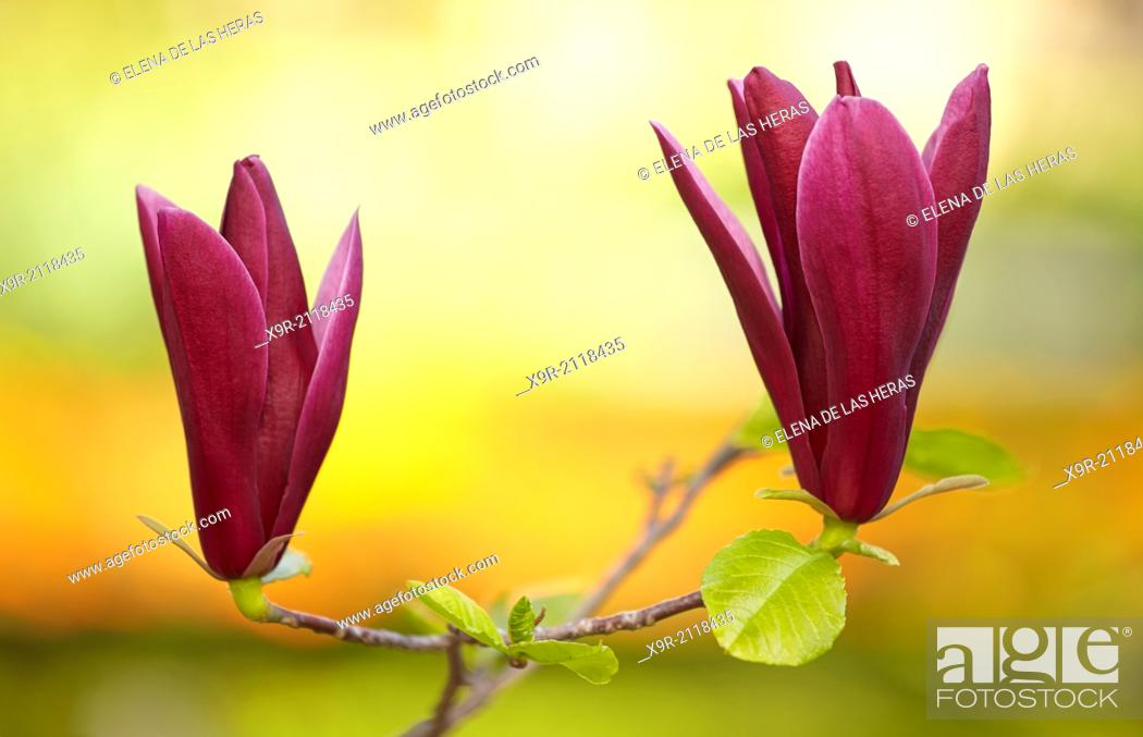 "Stock Photo: Magnolia liliiflora """"Nigra"""" blossom at the Royal Botanical Garden. Madrid. Spain."