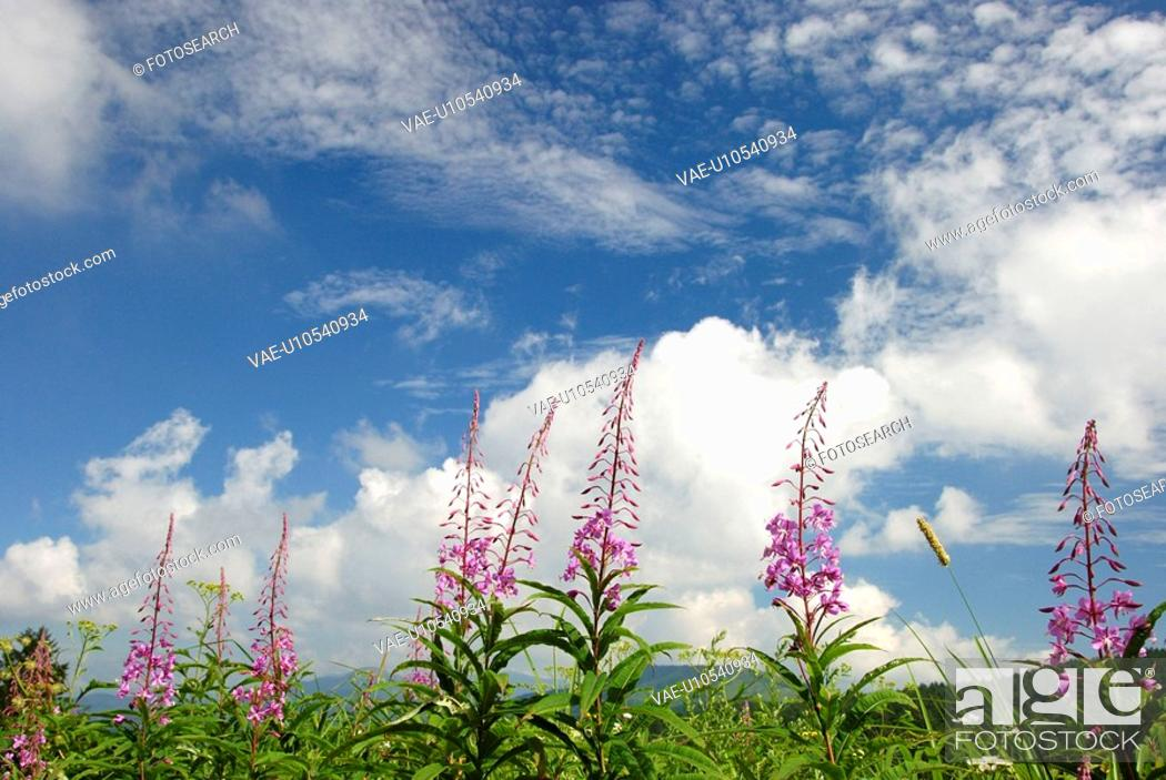 Stock Photo: White Clouds And Orchid.