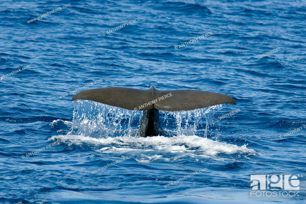 Imagen: Sperm Whale Physeter Macrocephalus Azores, North Atlantic.
