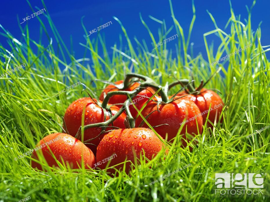 Stock Photo: Vine-ripened tomatoes in green grass under blue sky artistic food still life.