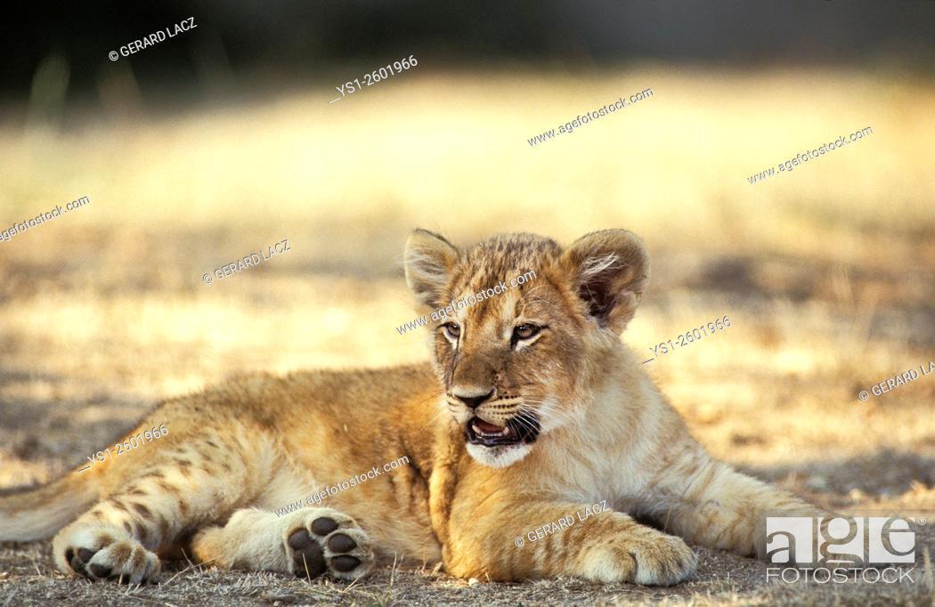 Stock Photo: African Lion, panthera leo, Cub laying, Masai Mara Park in Kenya.