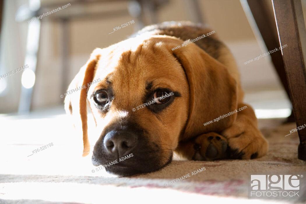 Stock Photo: Puppy.
